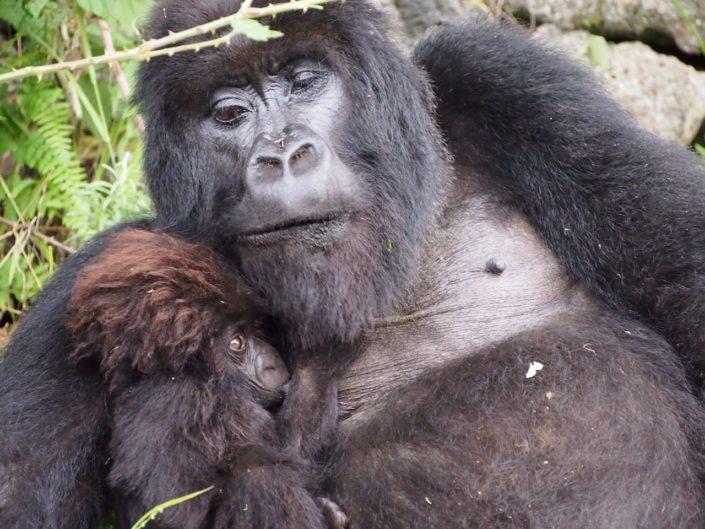 berggorilla Rwanda Virunga