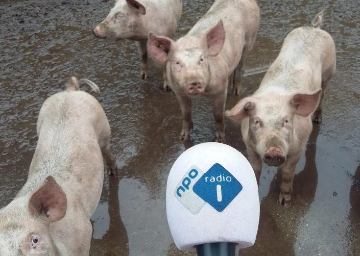 varkens nporadio1 radio microfoon